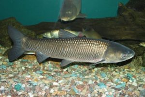 Живая рыба для пруда белый амур