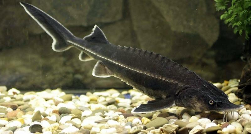 Бестер рыба для пруда