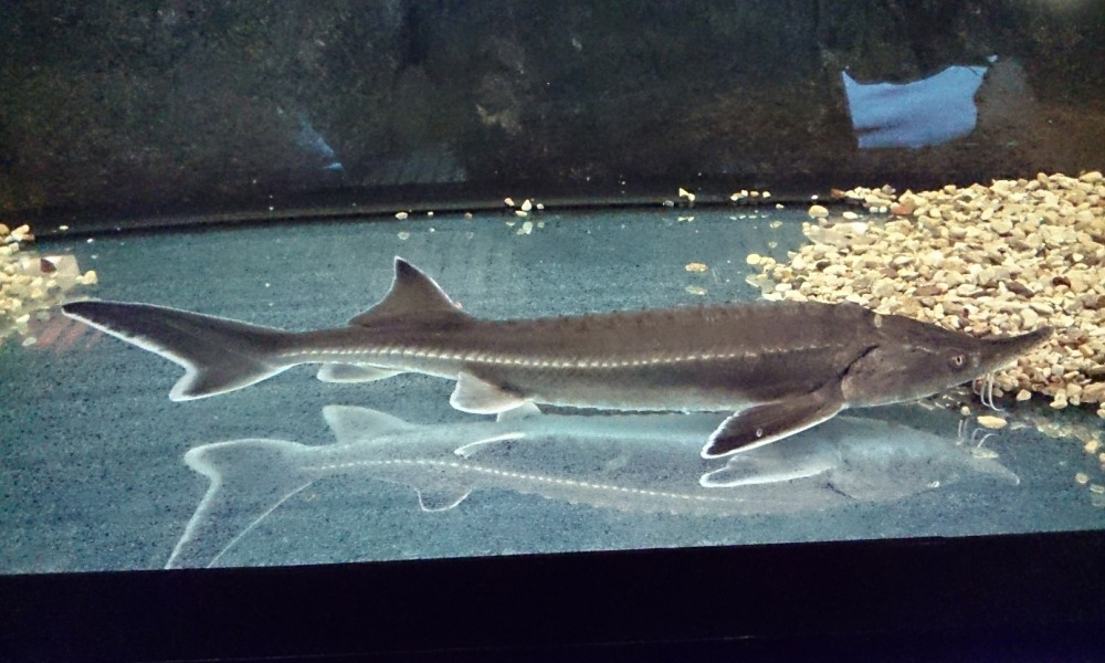 Бестер в аквариуме