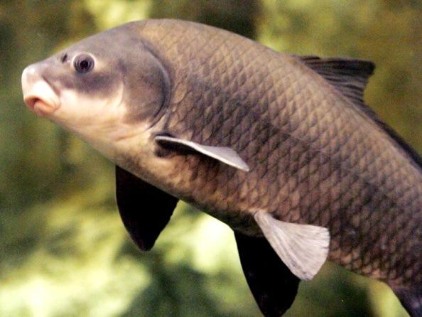 Рыба буффало для пруда купить