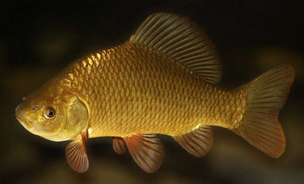 Золотой карась в пруд