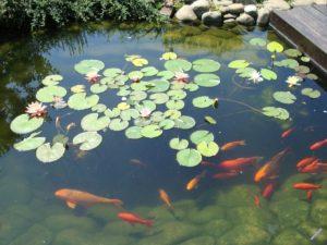 Красивая рыба в пруд
