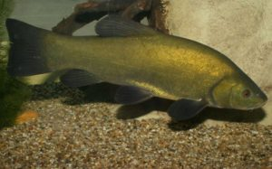 Линь рыба в пруд