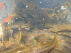 Вьюн в аквариуме