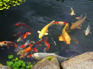 Декоративная рыба для пруда