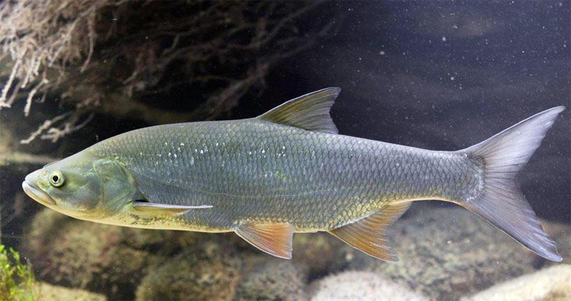 Купить рыбу жерех в ваш пруд