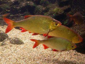 Купить рыбу краснопёрку в пруд