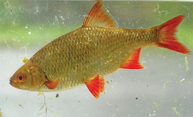 Живая рыба краснопёрка в водоём