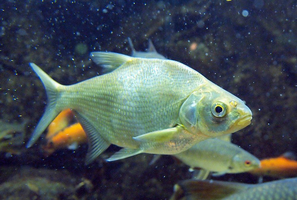 Рыба лещ в ваш пруд