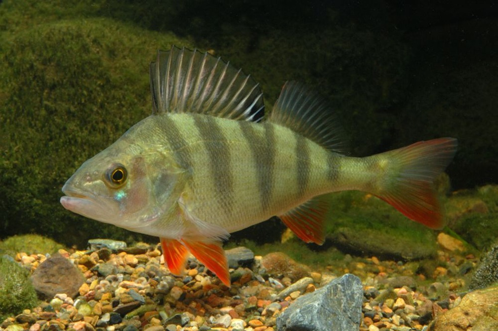 Рыба окунь для вашего пруда