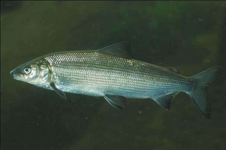 Пелядь рыба в пруд