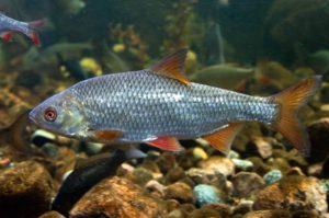 Купить рыбу плотва в ваш пруд