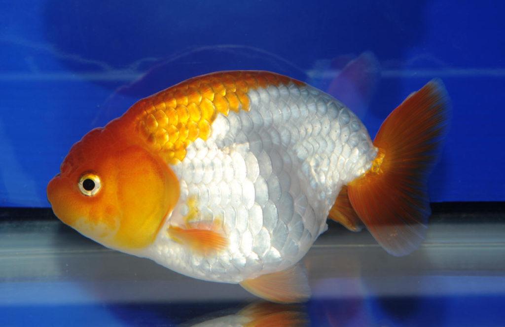 Рыбка ранчу в пруд