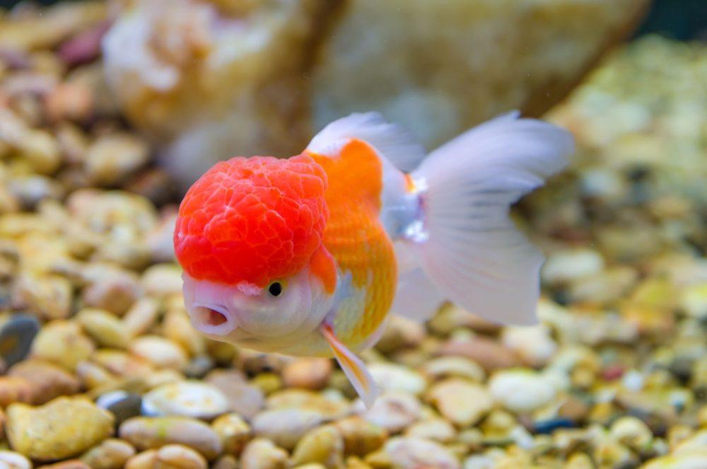 Красивая рыба красная шапочка в ваш пруд