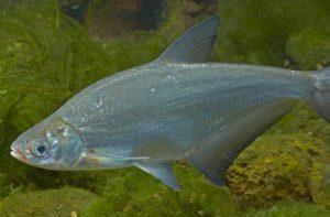 Купить рыбу синец в пруд