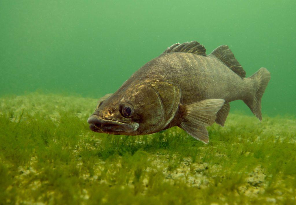 Рыба для пруда судак купить