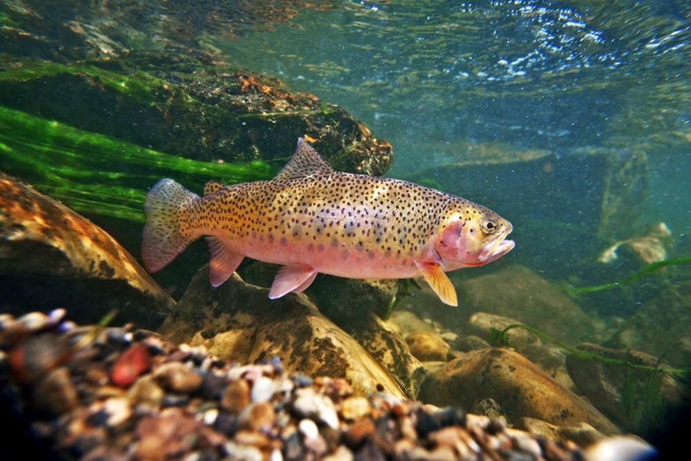 Купить рыбу озёрная форель в пруд