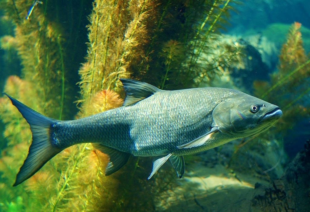 Купить рыбу жерех