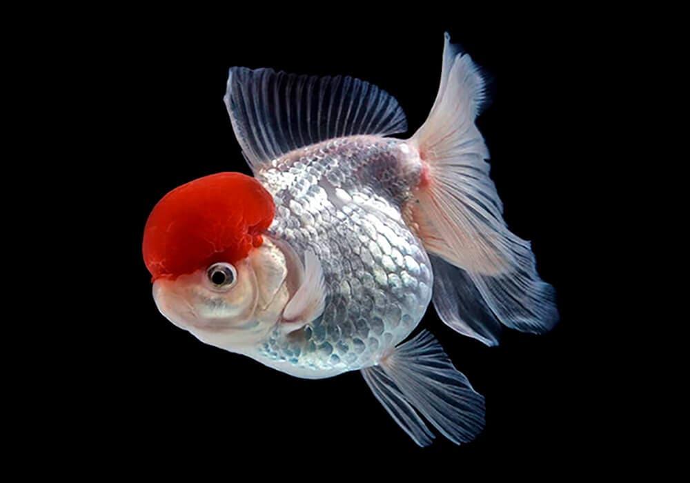 Красная шапочка в ваш пруд