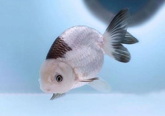 Красивая рыба ранчу в ваш пруд