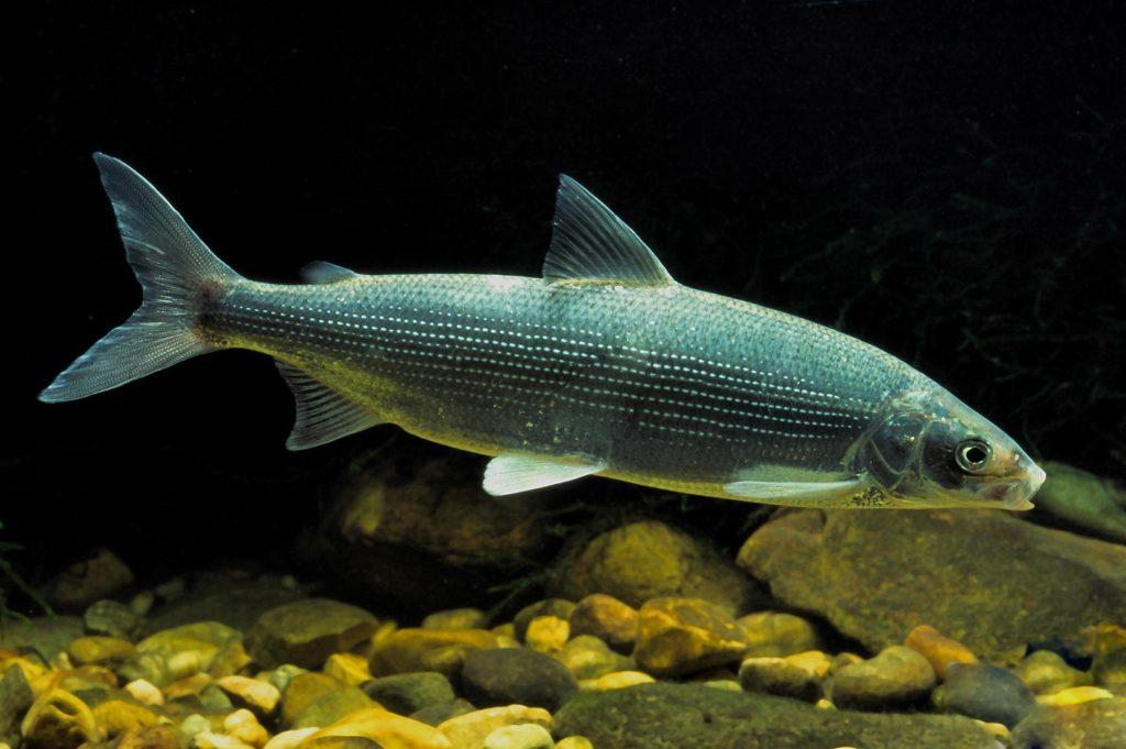 Рыба Чир в ваш пруд