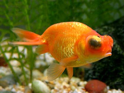 Золотая рыбка звездочет в ваш пруд